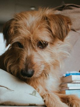 Microchip your dog with Moate Vet Hospital